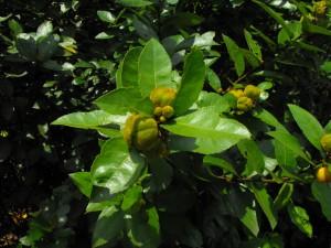 D'autres fruits à la texture duveteuse