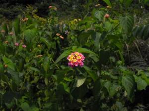 Chaque fleur est en fait un petit bouquet